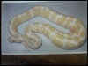 Outstanding pair of Albino and piebald ball pythons
