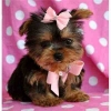 I got Healthy, Well Tamed, Pure Bred Teacup Yorkies puppies to offer forady home. My