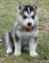 LOVELY AKC SIBERIAN HUSKIES PUPPIES FOR ADOPTION