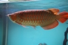 High Quality Arowana Fish For Sale