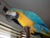 Hand Fed & Tamed Baby Parrots and Fertile