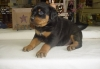 Akc Registered Rottweiler Puppies With Great Personalities...