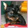 Cute teacup yorki puppies for adoption