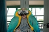 Pair of Blue and gold macaw parrots