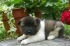 Adorable and playful akita Puppies