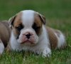 Active English bulldog puppies for a lovely home