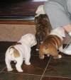 AKC REG English Bulldog Puppies For Adoption