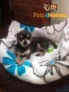 Chihuahua Kc Reg 5 Smooth Coat Puppies