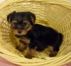 Super Genuine Cute & Intelligent T-Cup Yorkie Puppies Ready