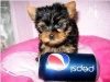 YORKIE PUP'S FOR REHOMING