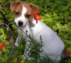 HOME TRAINED MALE AND FEMALE JACK RUSSELL TERRIER PUPPIES FOR HOME ADOPTION