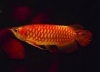 quality Live Arowana Fish Available