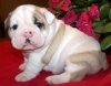 English Bull Dog Puppies For New Homes.
