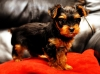 Adorable teacup yorkie puppies ready for adoption