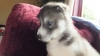 KC REGISTERED Siberian Husky Puppies