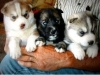 Good Looking Siberian Husky Puppies For Free Adoption. rush for it.!