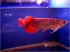 Top quality Arowana fish for sale
