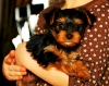 Excellent teacup yorkie puppies in need of a loving home