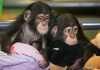 Adorable babies chimpanzee for adoption.