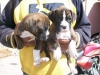 AKC Male and Female Boxer puppies for  adoption