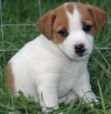WOW LOVELY MALE AND FEMALE MINIATURE JACK RUSSELL PUPPIES FOR HOME ADOPTION