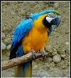 Gorgeous blue and gold male and female Macaw Parrots