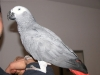 Hand Raised And Talking Congo African Grey parrots For Sale / Adoption