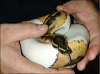 Very healthy and cute piebald  pythons available