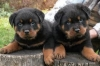 German Rottweiler puppies for adoption