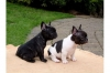 French Bulldog puppies  Promising from many years of breeding
