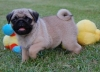 concillatory pug puppies