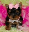AFFECTIONATE TEACUP YORKIE PUPPIES FOR ADOPTION