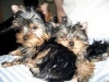 MALE AND FEMALE TEACUP YORKIE PUPPIES FOR ADOPTION