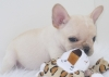 Adorable French bulldog pups