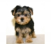 Free Micro Tiny T-cup Yorkie Puppies.