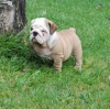 male and female English Bulldog puppies