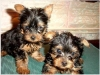 We have 2 little Yorkie puppies left(Good home)