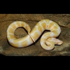 100% Hets babies albino and piebald ball pythons for sale