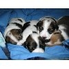 Pure jack russell pups for sale