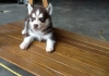 well trained siberian husky for  a new home