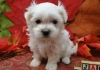4 Cute Maltese Puppies for sale