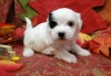 3 Awesome Maltese Puppies For Sale!!