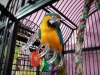 Congo African Grey Parrot, hyacinth macaw parrots and blue and gold macaw parrots sales