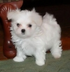 Nice Charming Teacup maltese Puppies for Christmas