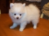 Gorgeous Pomeranian puppies still available