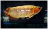Quality RTG,X-back,Super Red, Asian Arowana/ Dragon Fish and others for sale
