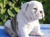 English bulldog puppies for x mass