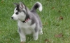 Siberian husky puppies for x mass