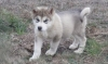 Quality Siberian Huskies For A Good Homes text us via (817) 617-8625