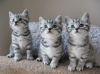 British Short Hair Kittens available now